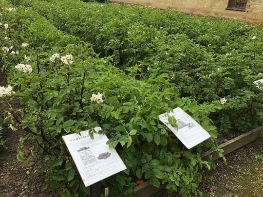 Stor kartoffelhøst