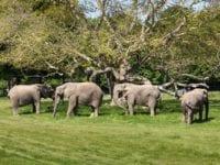 De sidste cirkuselefanter i Danmark er nu blevet lukket ud på den lollandske savanne i Knuthenborg Safaripark. Foto: Asger Thielsen